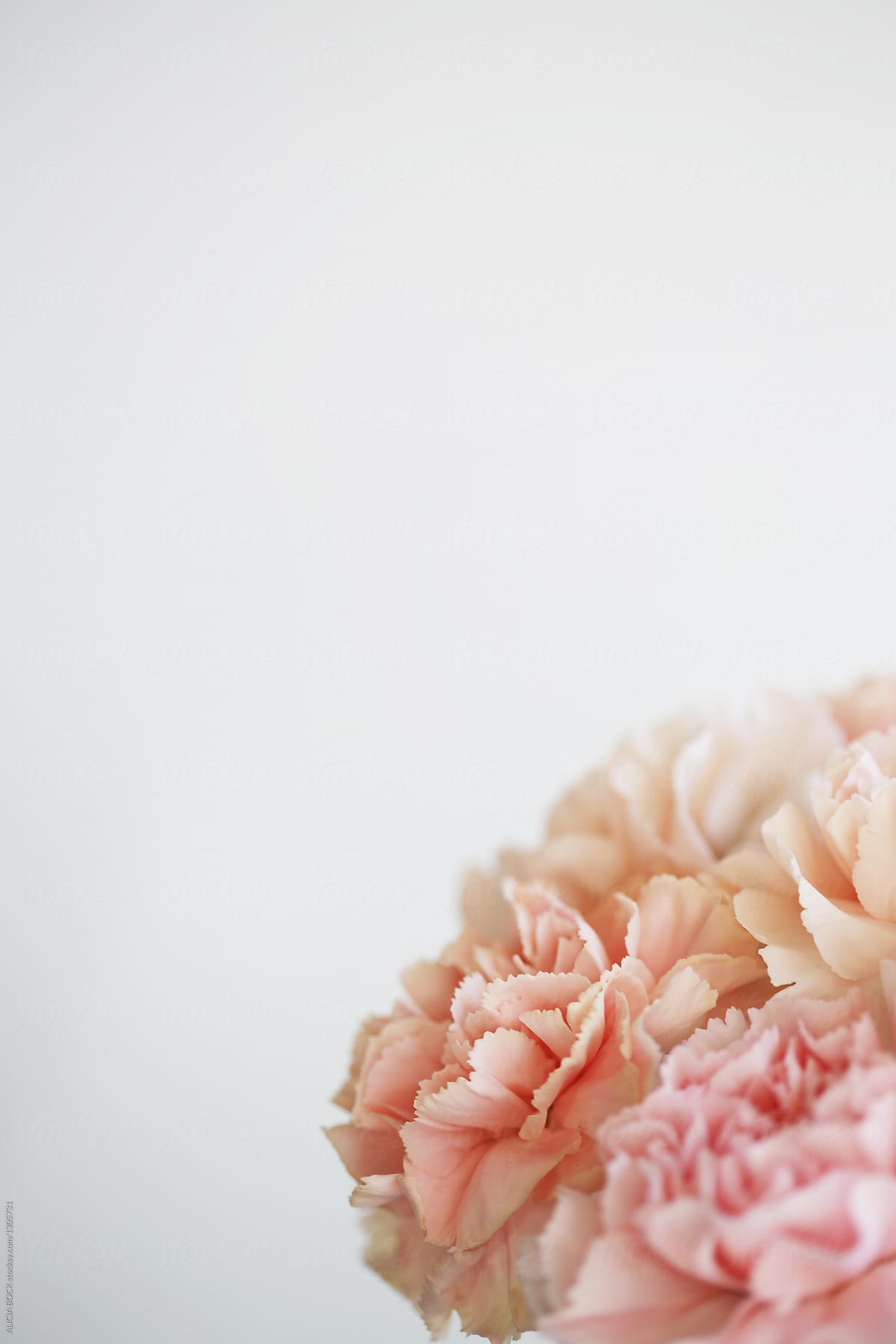 Close up of a bouquet of fresh pink carnation flowers with copy close up of a bouquet of fresh pink carnation flowers with copy space by alicia bock izmirmasajfo