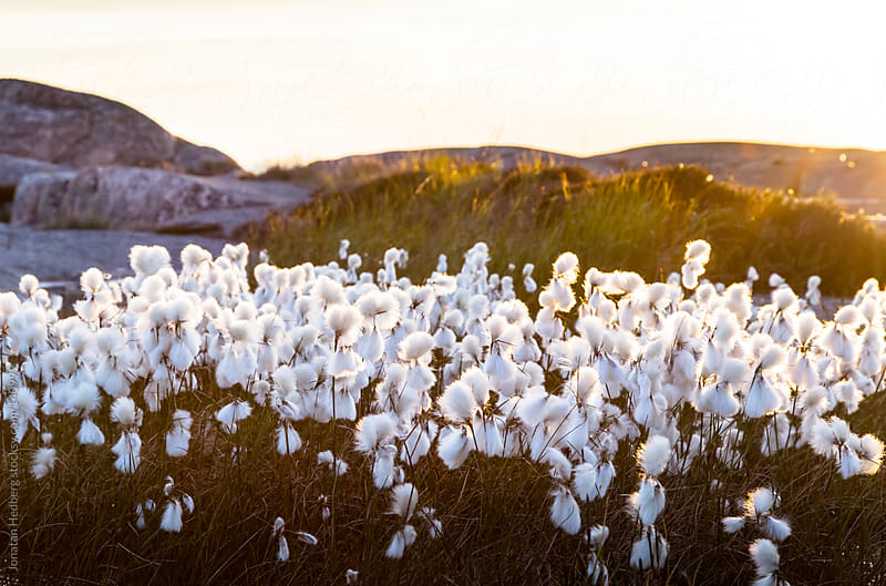 Backlit cottongrass in the summer evening by Jonatan Hedberg for Stocksy United