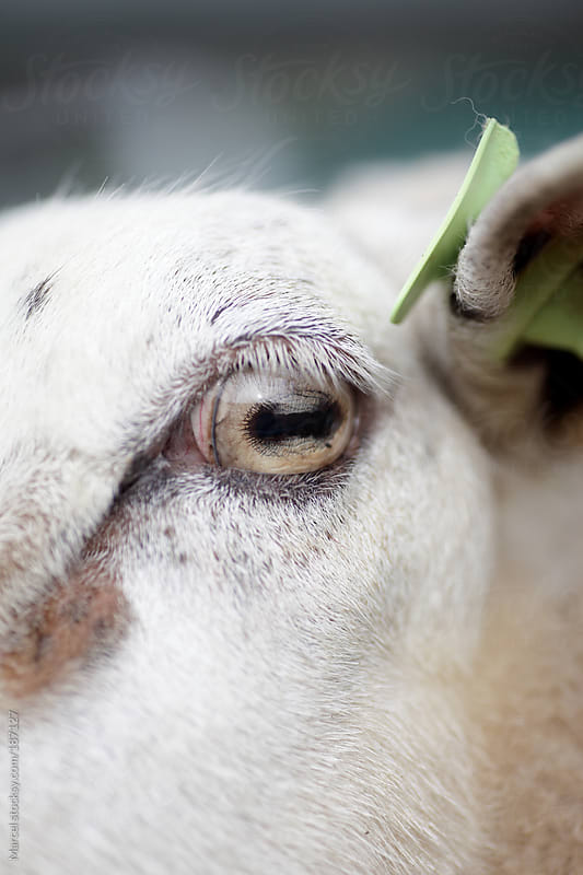 Close up of the eye of a sheep by Marcel for Stocksy United
