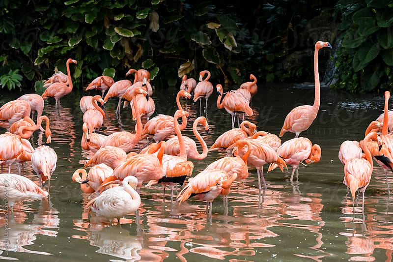 Group of flamingo in water by Lawren Lu for Stocksy United