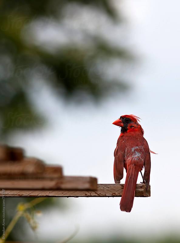 Male Cardinal Bird Closeup by Brandon Alms for Stocksy United
