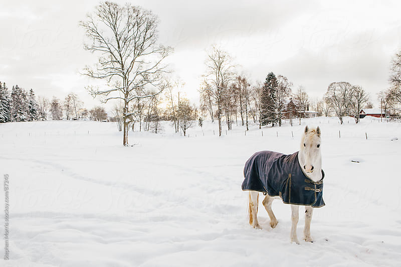 White horse in snowy field by Stephen Morris for Stocksy United