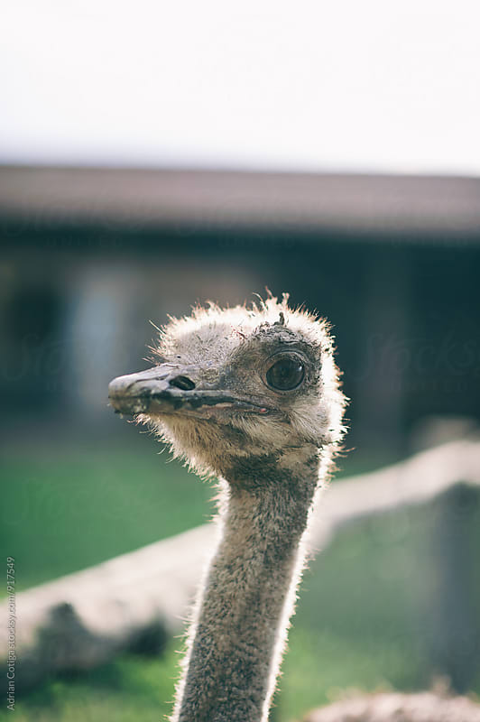 Ostrich head by Adrian Cotiga for Stocksy United