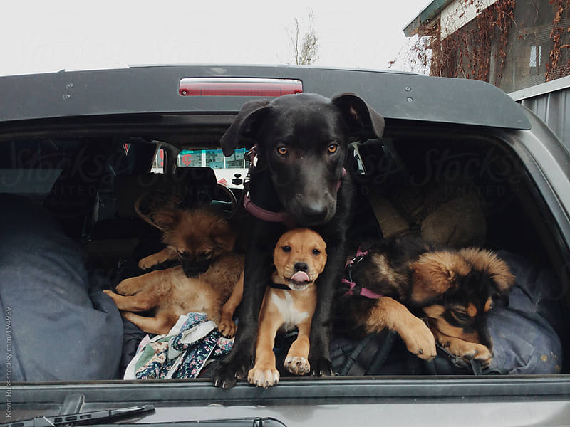 Puppies in Car by Kevin Russ for Stocksy United