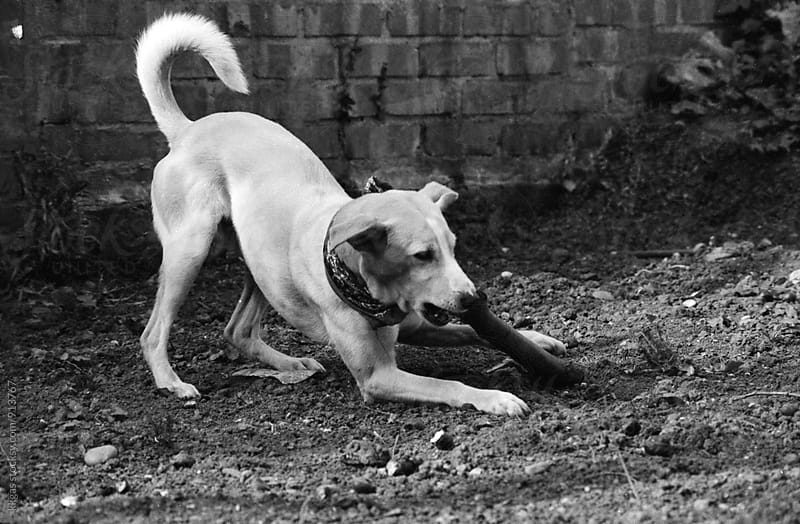 film scan of a cross breed dog playing with a stick by kkgas for Stocksy United