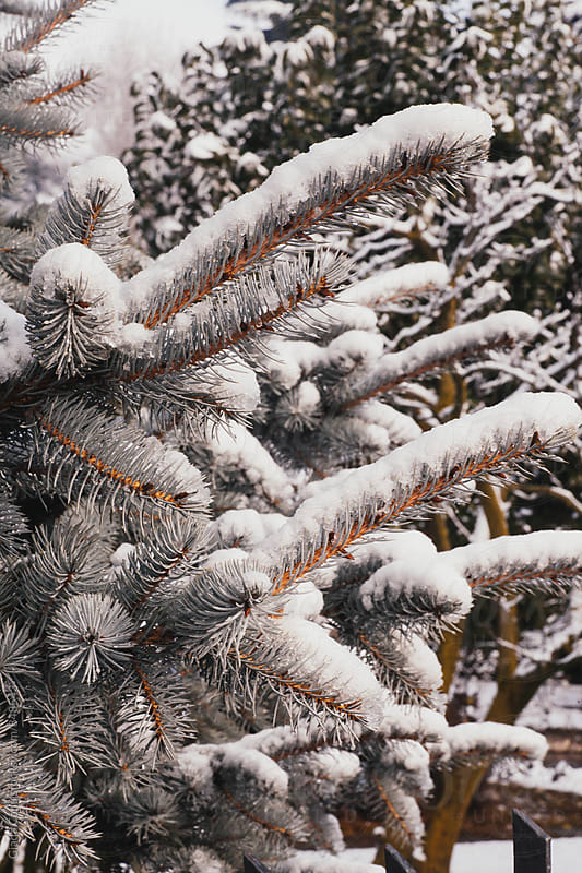 pine tree covered by snow by Giada Canu for Stocksy United