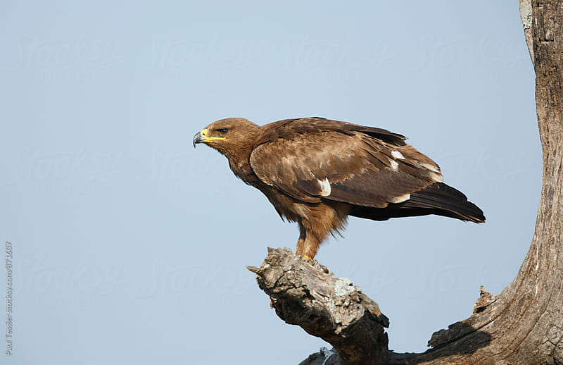 Tawny eagle by Paul Tessier for Stocksy United
