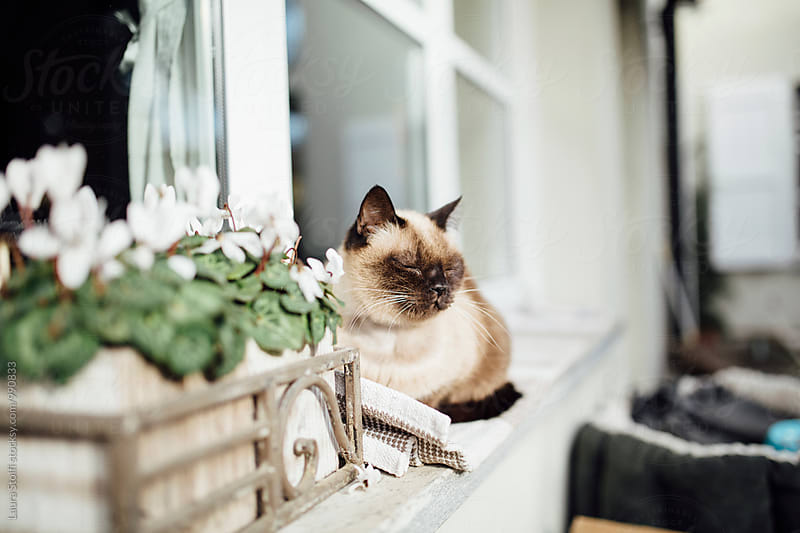 Siamese cat relaxing in the sun on windowsill in garden by Laura Stolfi for Stocksy United