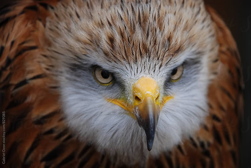 Red kite (Milvus milvus) by Gabriel Ozon for Stocksy United