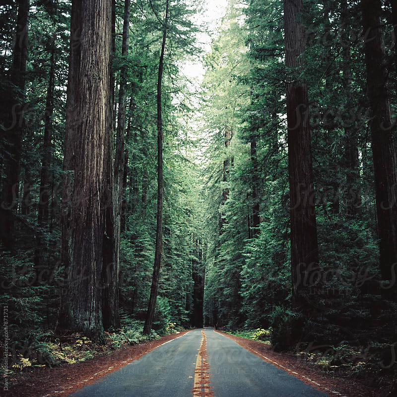 Avenue of the Giants by Dave Waddell for Stocksy United