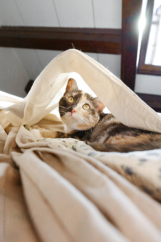 Lovely domestic pet cat lying on bed by Alberto Bogo for Stocksy United