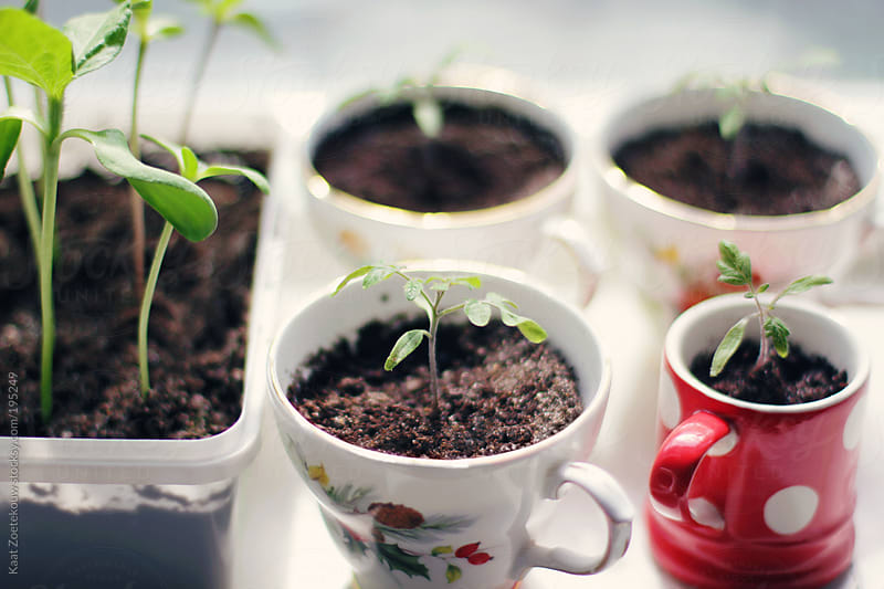 Close-up of tomato seedlings potted in various teacups; and sunflower seedlings planted in a plastic container.  by Kaat Zoetekouw for Stocksy United