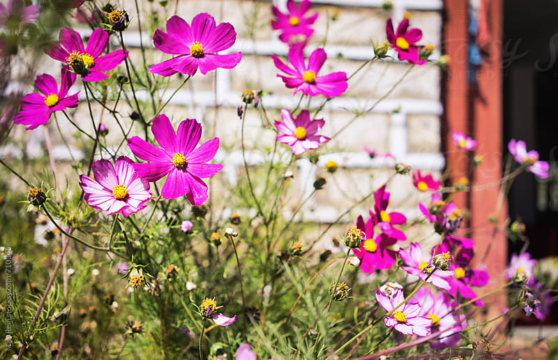 cosmos,DaoChengYa, sichuan province,Chian by Miss Rein for Stocksy United