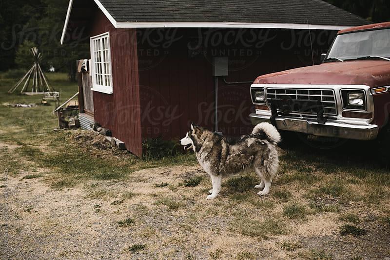fluffy husky dog in yard on gloomy day by Nicole Mason for Stocksy United