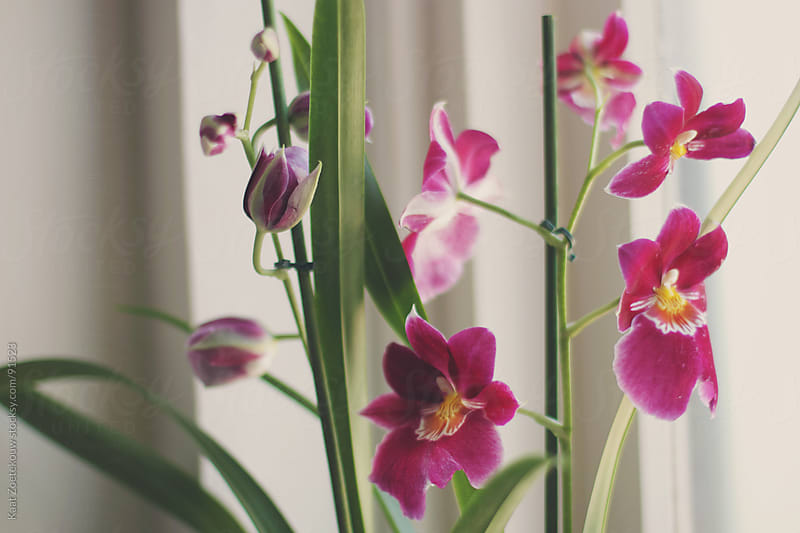 Closeup of a magenta pansy orchid plant. by Kaat Zoetekouw for Stocksy United