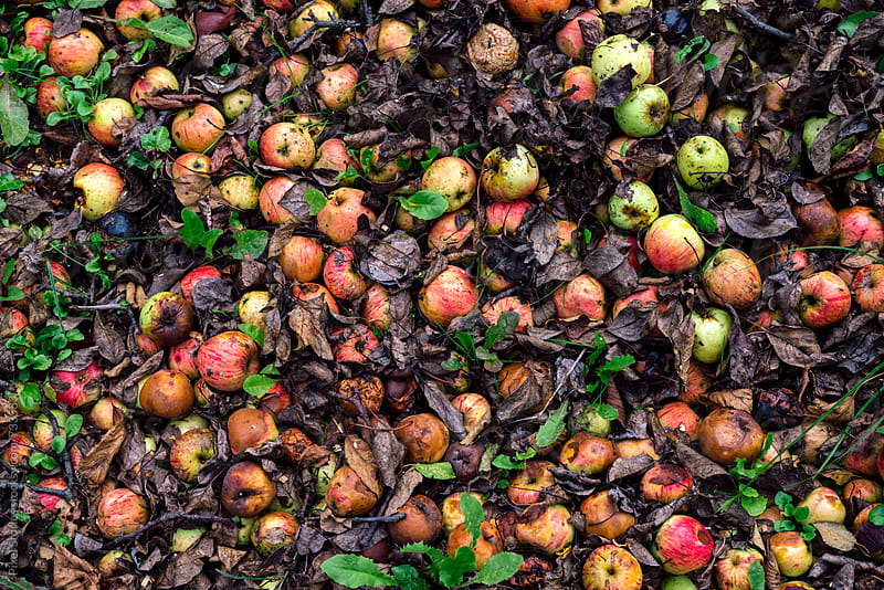Windfall apples on the ground by Pixel Stories for Stocksy United