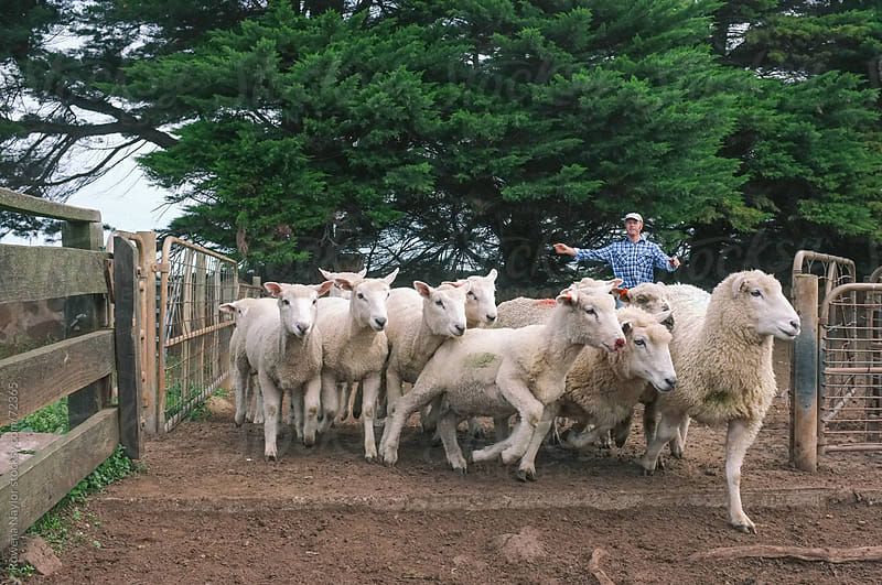 Farmer rounding up sheep by Rowena Naylor for Stocksy United