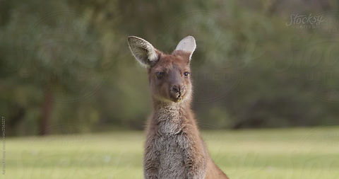 Australian Wildlife Stock Footage