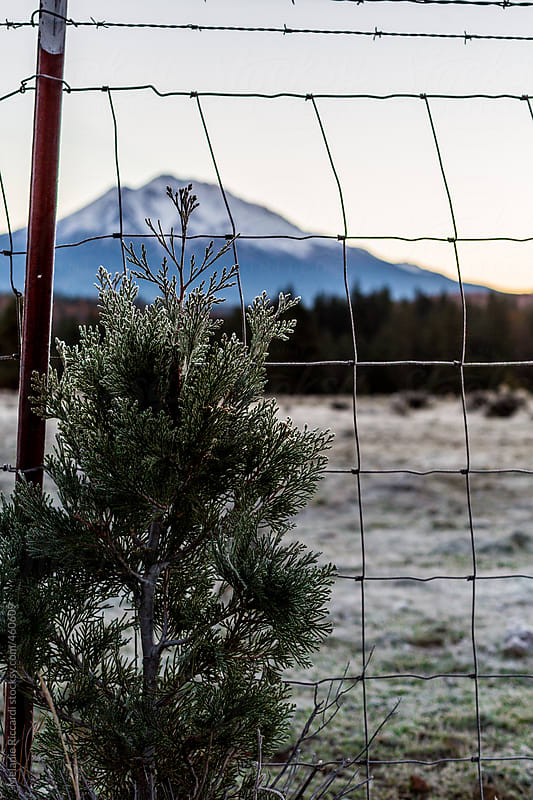 Tiny tree with mount shasta in the background by Melanie Riccardi for Stocksy United