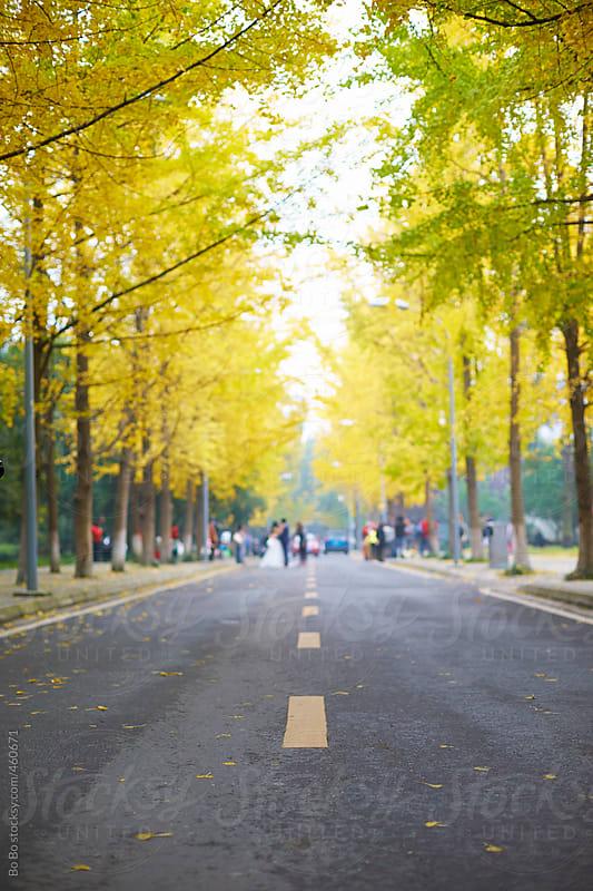 ginkgo autumn road by Bo Bo for Stocksy United