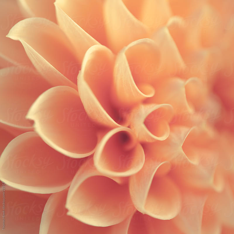 dahlia detail by Thomas Hawk for Stocksy United