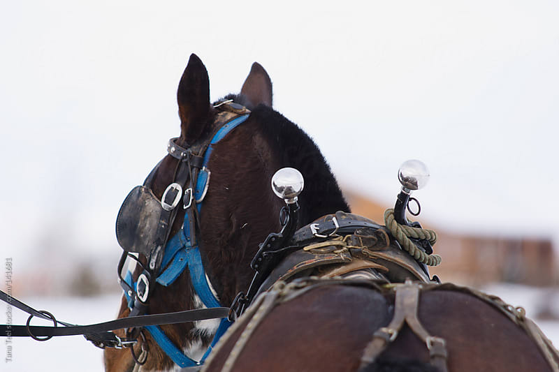 A draft horse in harness by Tana Teel for Stocksy United
