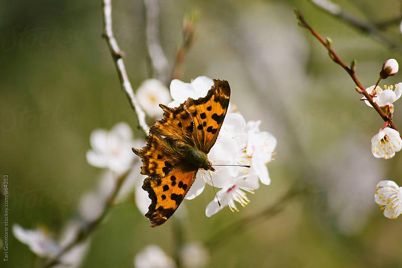 Orange butterfly on Spring blossom by Tari Gunstone for Stocksy United