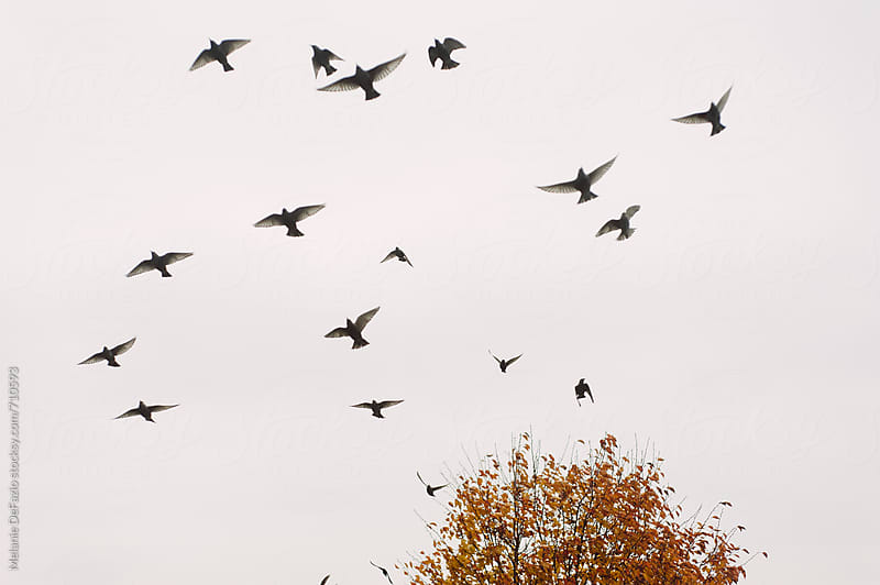 Grackles by Melanie DeFazio for Stocksy United