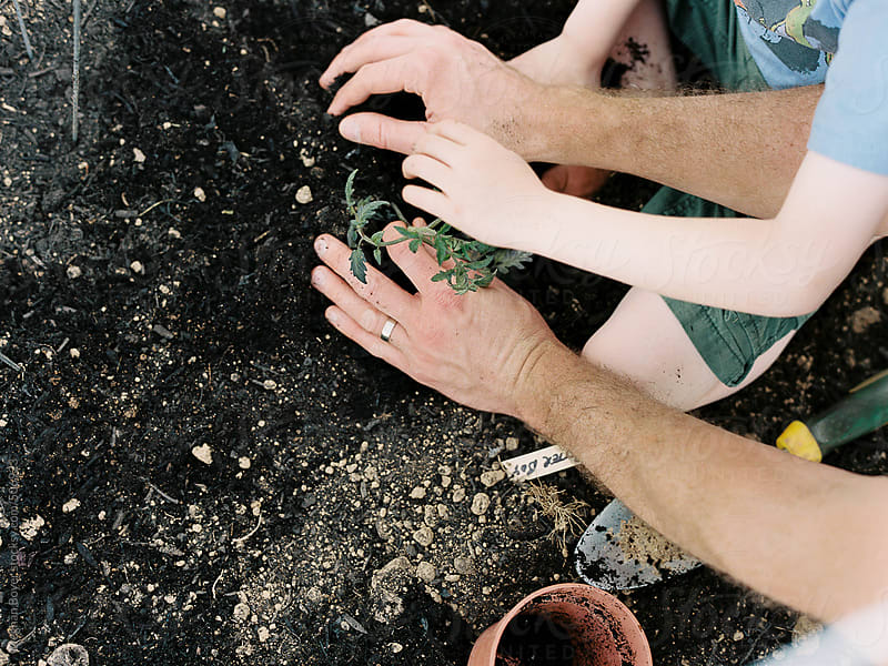 father and son hands planting tomatoes by Meghan Boyer for Stocksy United