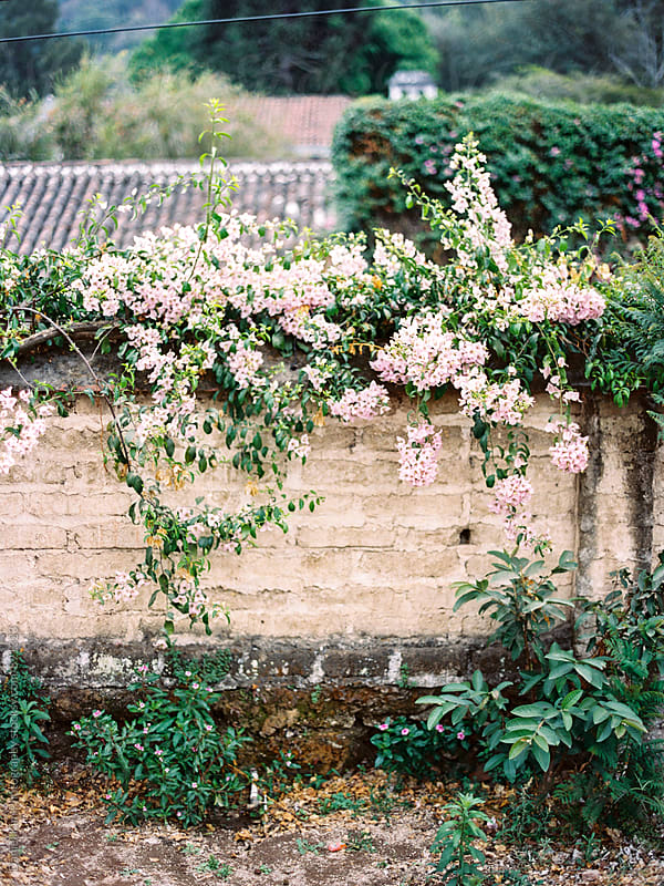 Flowers draping over brick wall by Daniel Kim Photography for Stocksy United