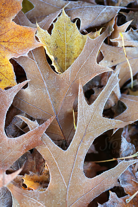 Colorful Autumn Leaves Covered With Frost by ALICIA BOCK for Stocksy United