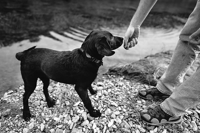 labrador retriever puppy at river by michelle edmonds for Stocksy United