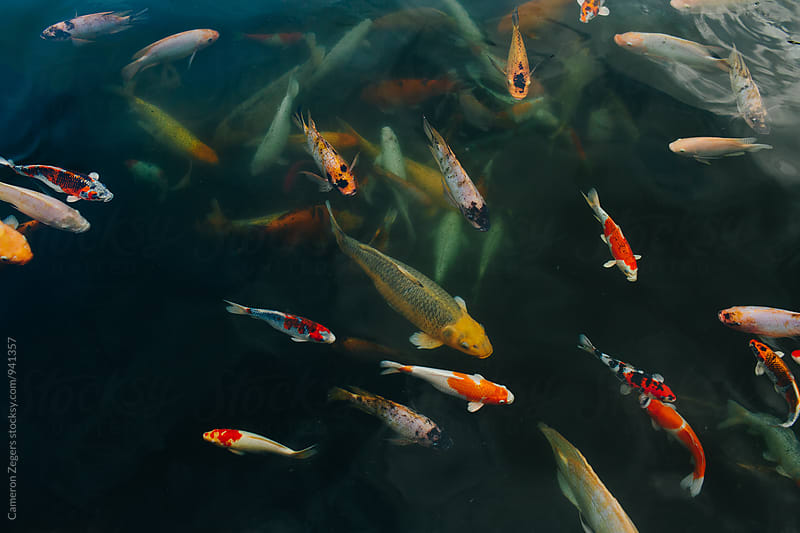 Many koi fish swimming at holy water temple, Bali Indonesia. by Cameron Zegers for Stocksy United
