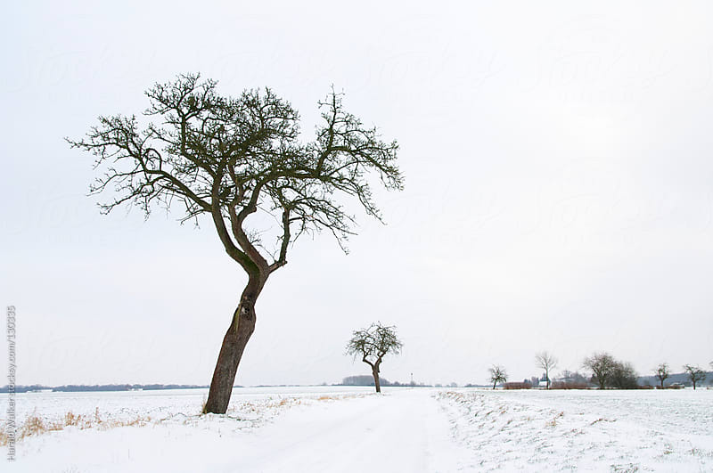 Old fruit trees in the winter by Harald Walker for Stocksy United