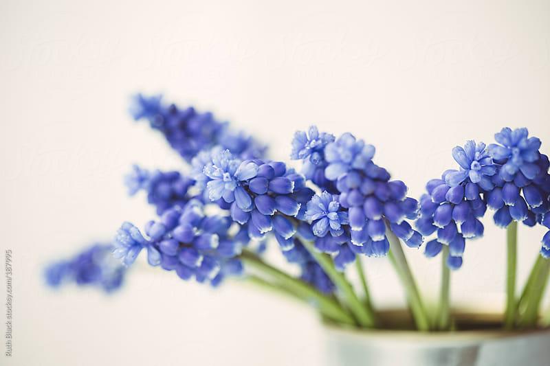 Grape hyacinths by Ruth Black for Stocksy United