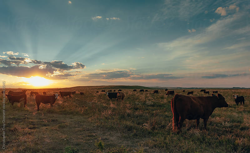 Grazing at sunset by Christopher Troy Dowsett for Stocksy United
