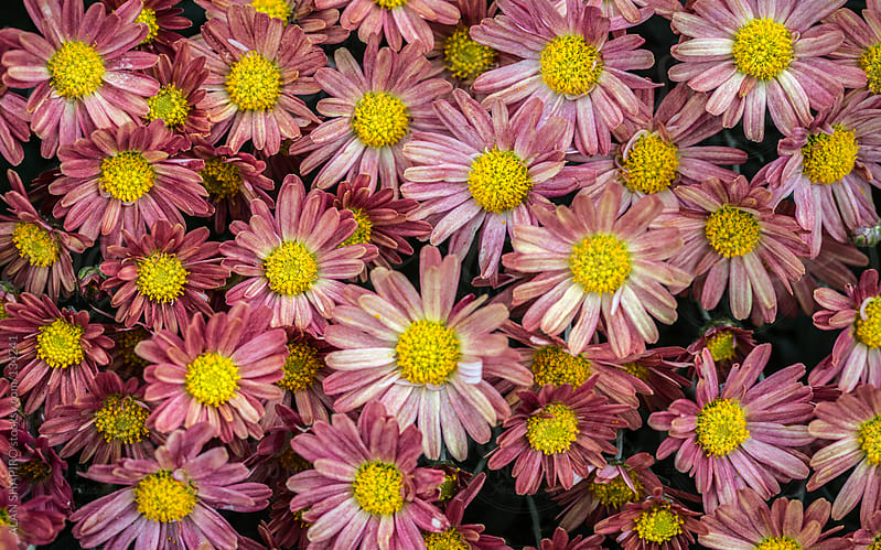chrysanthemums by ALAN SHAPIRO for Stocksy United