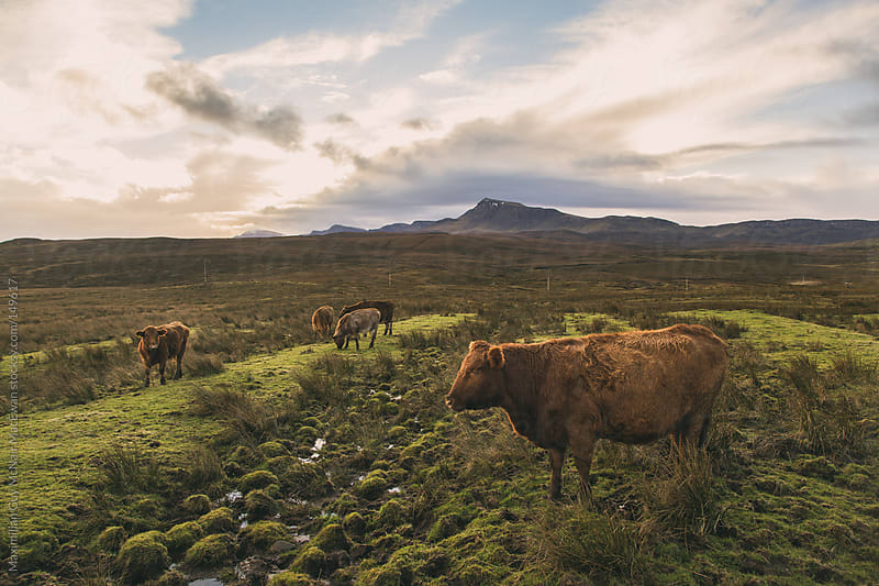 Highland Cattle on the Isle of Skye by Maximilian Guy McNair MacEwan for Stocksy United