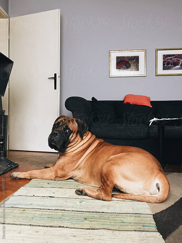 Bull mastiff dog in the room by Dimitrije Tanaskovic for Stocksy United