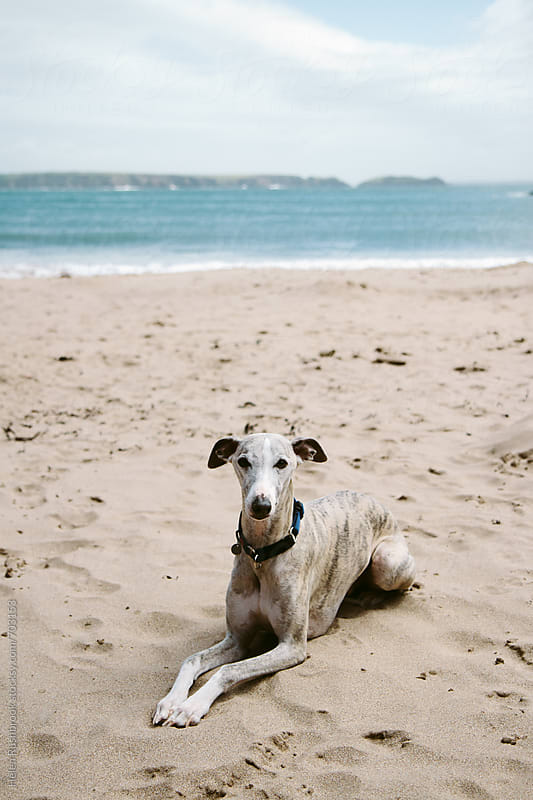A whippet chilling on a beach by Helen Rushbrook for Stocksy United