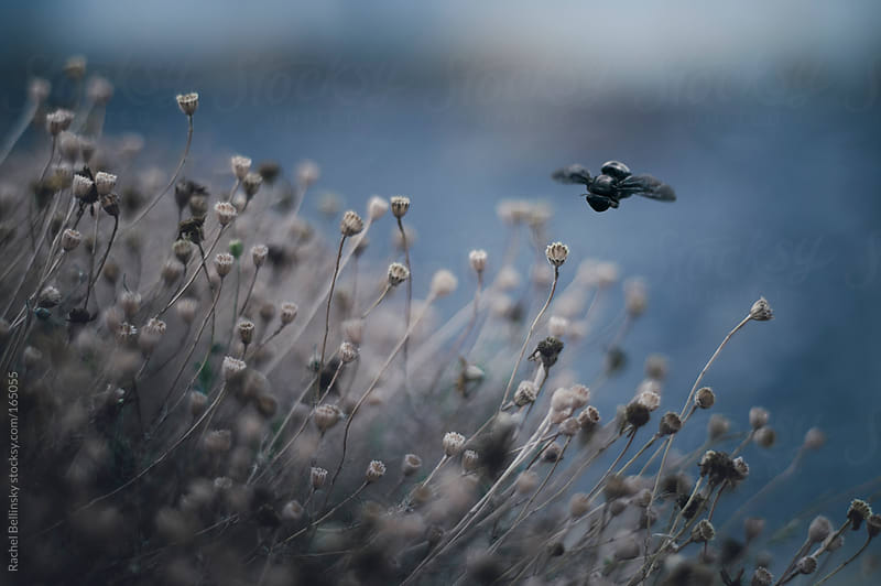 A bee flies over delicate dried weeds against a dusky sky by Rachel Bellinsky for Stocksy United