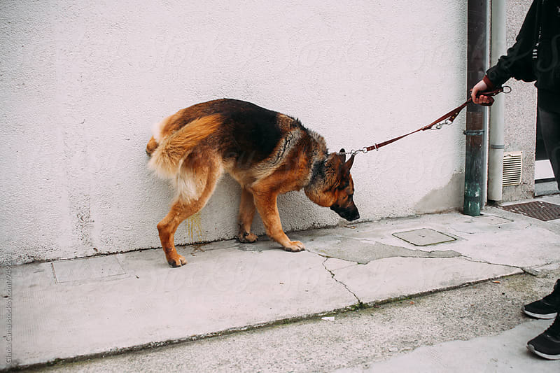 German shepherd by Giada Canu for Stocksy United