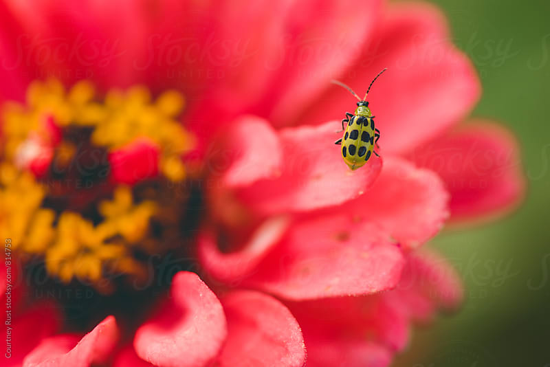 Cucumber Beetle on a Zinnia by Courtney Rust for Stocksy United