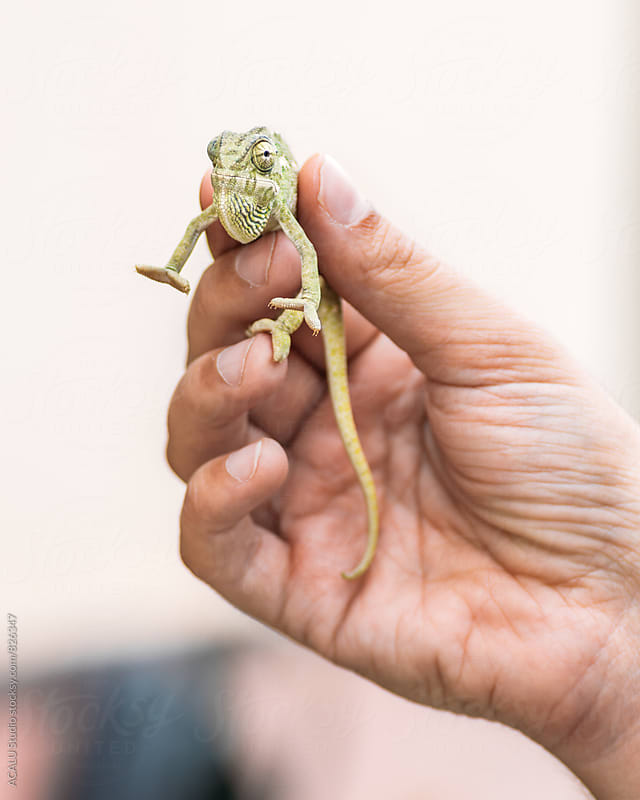 Chameleon on hand by ACALU Studio for Stocksy United