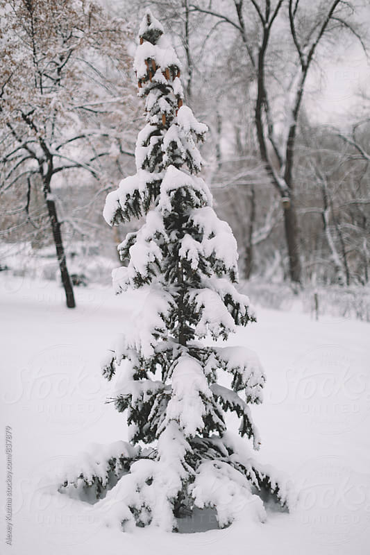 Snow Covered Fir by Alexey Kuzma for Stocksy United