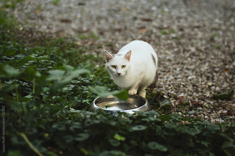 White cat ready to drink fresh water from steel bowl looks straight at the camera by Laura Stolfi for Stocksy United