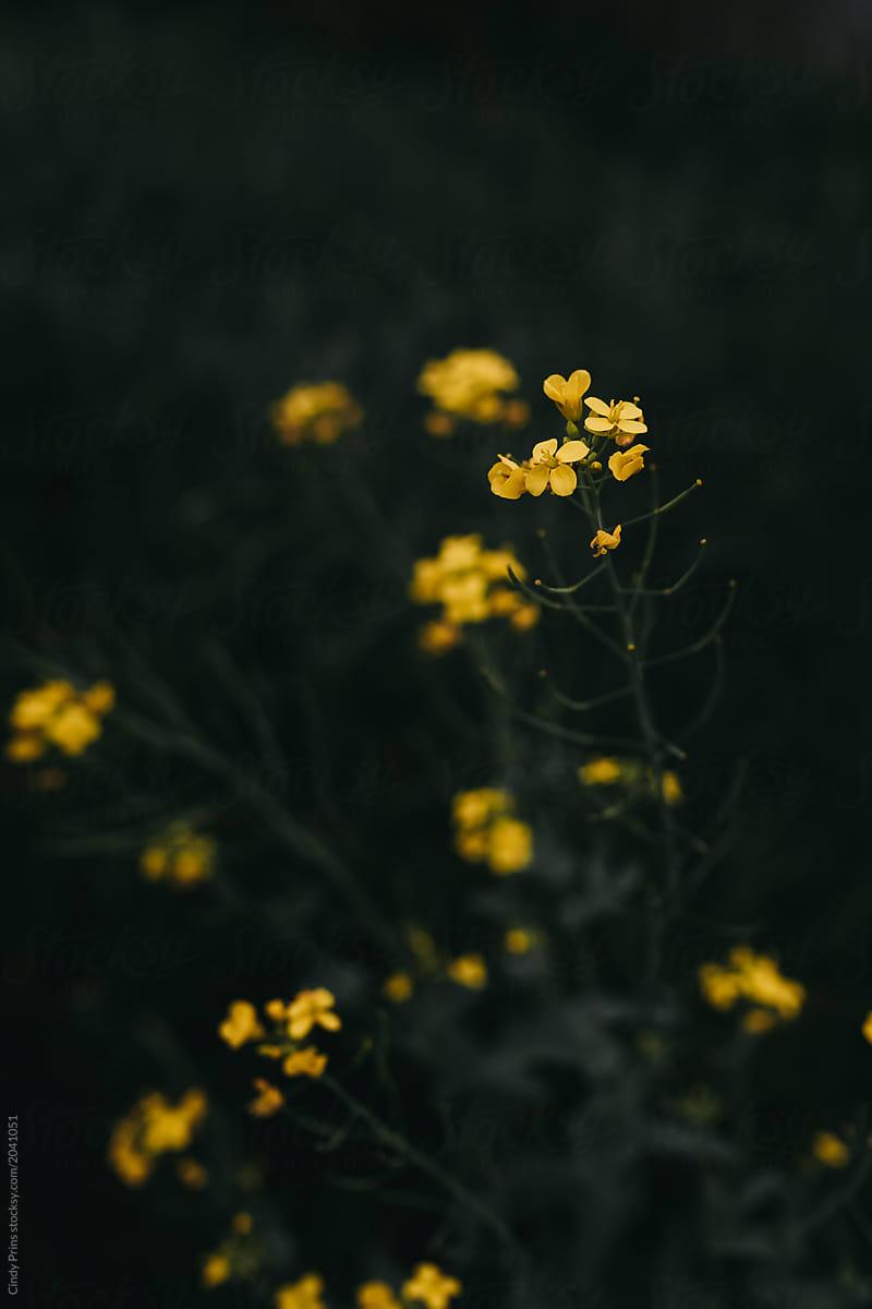Dark moody closeup of some yellow flowers stocksy united dark moody closeup of some yellow flowers by cindy prins for stocksy united mightylinksfo