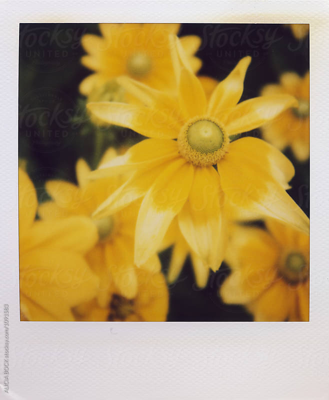 Vibrant Yellow Daisies Photographed On Polaroid Film by ALICIA BOCK for Stocksy United