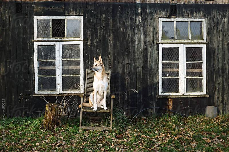 Beautiful shepherd dog sitting around. by Ivar Teunissen for Stocksy United