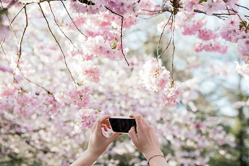 Hands holding phone photographing cherry blossom by Lior + Lone for Stocksy United